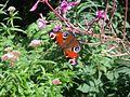Peacock (Inachis io) (7580751990).jpg
