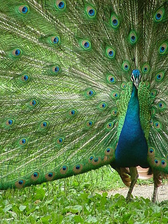 Bardiya National Park - Peacock displaying his plumes