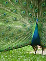 Peacock with outspread plumes.JPG