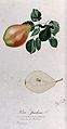 Pear (Pyrus species); fruiting branch with halved fruit. Col Wellcome V0043146.jpg