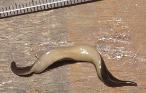 Platydemus manokwari - Ventral side of Platydemus manokwari is pale finely mottled light brown.