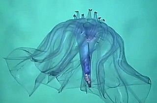 <i>Pelagothuria</i> Species of sea cucumber