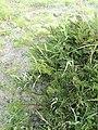 Pelargonium triste - Kenwyn Nature Park - Cape Town f.jpg