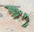 Pellaea truncata 3.jpg