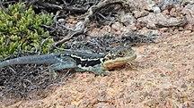 Pearson Island-Fauna-Peninsula Dragon - Pearson Island, Investigator Group Conservation Park, South Australia