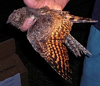 Pennant-winged Nightjar, immature, Shamvura.jpg