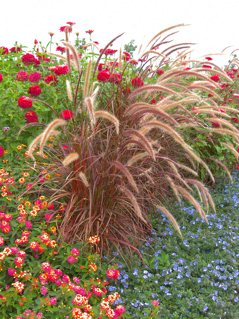 Variegated purple fountain grass the mirrour of the world for Variegated grass with purple flower