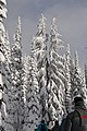 People snowshoeing under snow covered trees. (cd81a6476d3e4e7586f2c395bb7ce559).jpg