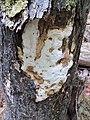 Perenniporia medulla-panis (Jacq.) Donk 96954.jpg