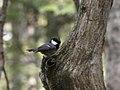 Periparus ater insularis, Mount Norikura, Japan.jpg