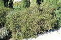 Periploca laevigata subsp. angustifolia (Periploca angustifolia) - Jardín Botánico de Barcelona - Barcelona, Spain - DSC09247.JPG