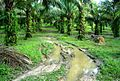 Perkebunan kelapa sawit milik rakyat (2).JPG