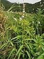 Persicaria odorata subsp. conspicua 1.JPG