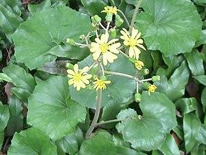 Farfugium japonicum - F. japonicum