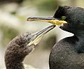 Phalacrocorax aristotelis -Staple Island, Farne Islands, Northumberland, England -adult and chick-8.jpg