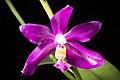 Phalaenopsis pulchra 'Oscar' (Rchb.f.) H.R.Sweet, Amer. Orchid Soc. Bull. 37- 1102 (1968) (36399527620).jpg