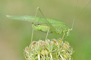 subfamily of bush crickets