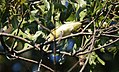 Philadelphia Vireo gets a big caterpillar (29673394541).jpg