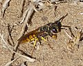 Philanthus species (32861012016).jpg