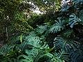 Philodendron en el Cerro Nutibara.jpg