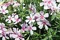 Phlox subulata Apple Blossom 4zz.jpg