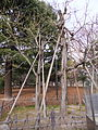 Phoenix Trees (China Parasol Trees) Exposed to the A-bomb 20130120-2.JPG