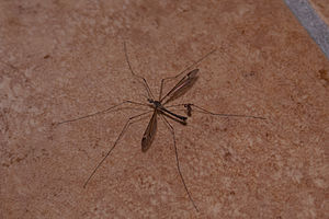Commensalism - Phoresy, a pseudoscorpion on the leg of a crane fly