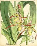 Phragmipedium longifolium (as Cypripedium roezlii) - Curtis' 102 (Ser. 3 no. 32) pl. 6217 (1876).jpg