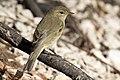Phylloscopus trochilus - Willow Warbler, Adana 2017-01-15 10-1.jpg