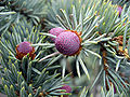 Picea pungens-Koster.jpg
