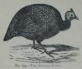Picture Natural History - No 164 - The Guinea Fowl.png