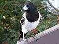 Pied Butcherbird - Male (Cracticus nigrogularis) 03.JPG