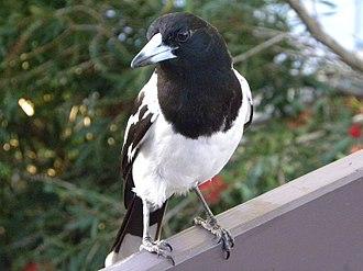 Pied butcherbird - Image: Pied Butcherbird Male (Cracticus nigrogularis) 03