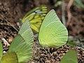 Pieridae puddling from Savandurga IMG 9683.jpg
