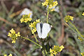Pieris ergane - Dağ küçük beyazmeleği 02.jpg