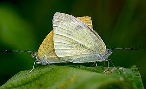 Pieris rapae атлы гёбелекле