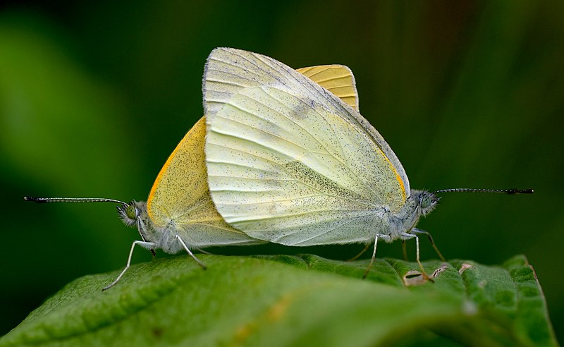 File:Pieris rapae which copulates 0928.jpg