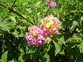 PikiWiki Israel 20893 Lantana camara.JPG