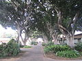 PikiWiki Israel 40660 Ficus aveneu in kibbutz Ramat HaKovesh.JPG