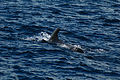 Pilot whale (4202560296).jpg