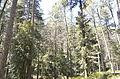Pine Forest Kandoliya Pauri.JPG