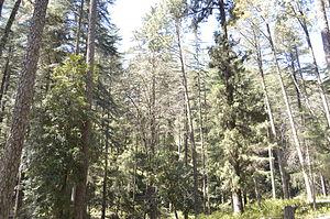 Pauri Garhwal district - Image: Pine Forest Kandoliya Pauri