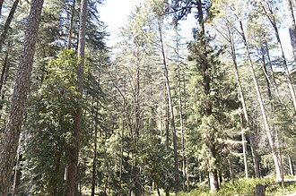 Pauri Garhwal district - Image: Pine Forest Kandoliya Pauri