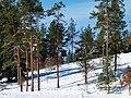 Pines - panoramio (2).jpg