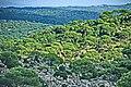 Pinienwälder im Beşparmak bei Çavdar.jpg