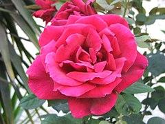 ורד בעל עלי כותרת רבים
