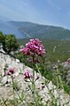 Pink flower on Mt Athos scenery.jpg