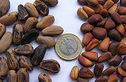 Pinoli di pino cembro (dx) e di pino domestico (sin)