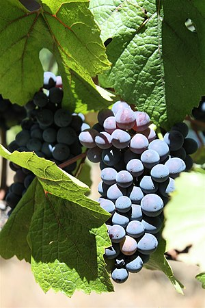 Pinot noir grapes growing in late August in th...