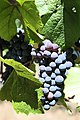 Pinot Noir in Anderson Valley.jpg
